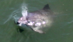ggcr porpoise