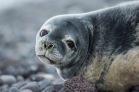 weddell-seal-ckipevans