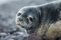 weddell-seal-ckipevans