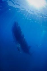 whale-shark-verticle-feeding-kip-evans_mg_1393