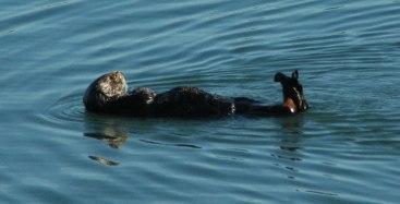 southern-sea-otter-1